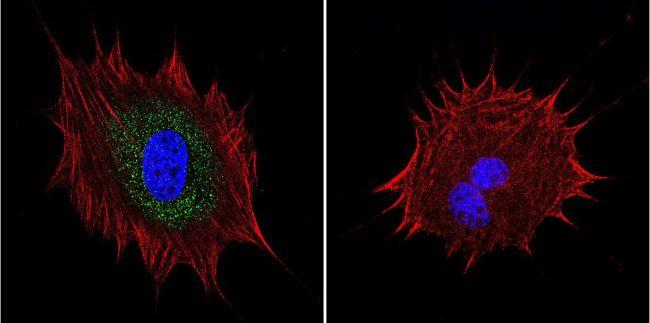 AKAP9 Antibody in Immunofluorescence (IF)