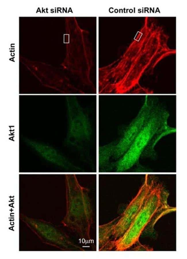 AKT1 Antibody in Immunofluorescence (IF)
