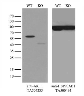 AKT1 Antibody in Knockout
