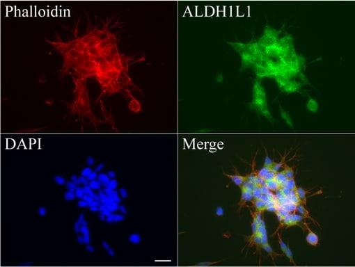 ALDH1L1 Antibody in Immunofluorescence (IF)