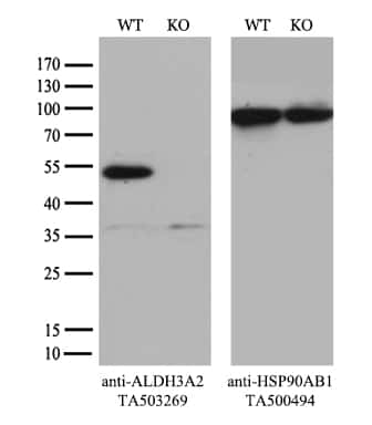 ALDH3A2 Antibody in Knockout
