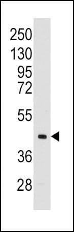 Aldolase C Antibody in Western Blot (WB)