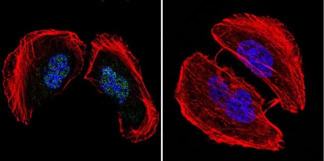 AP2 alpha Antibody in Immunofluorescence (IF)