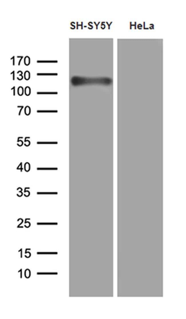 APBB1 Antibody in Western Blot (WB)