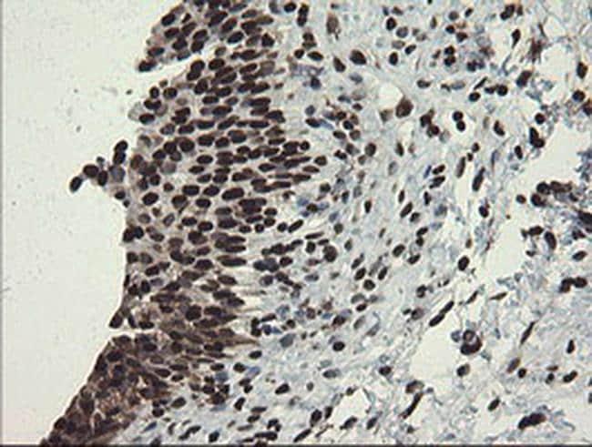 APEX1 Antibody in Immunohistochemistry (Paraffin) (IHC (P))