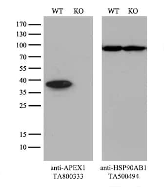 APEX1 Antibody in Knockout