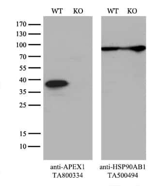 APEX1 Antibody in Knockout