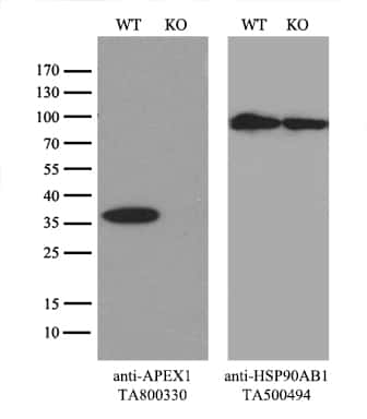 APEX1 Antibody in Western Blot (WB)