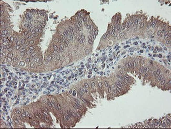 APP Antibody in Immunohistochemistry (Paraffin) (IHC (P))
