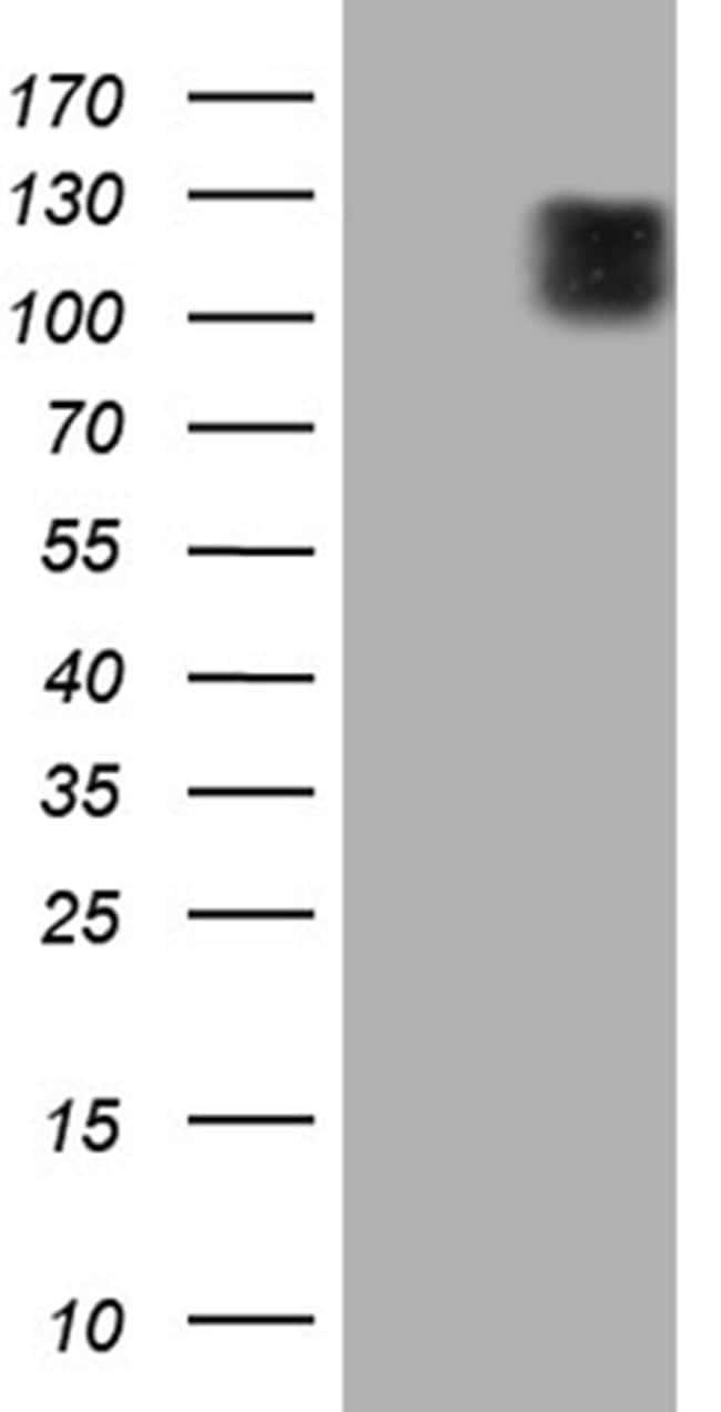 ARHGEF2 Antibody in Western Blot (WB)