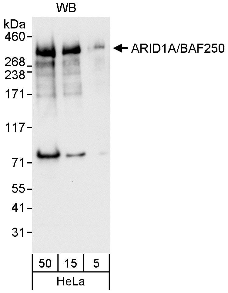 ARID1A/BAF250 Antibody in Western Blot (WB)