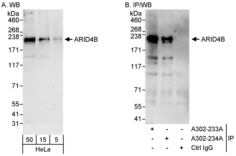 ARID4B Antibody in Western Blot (WB)