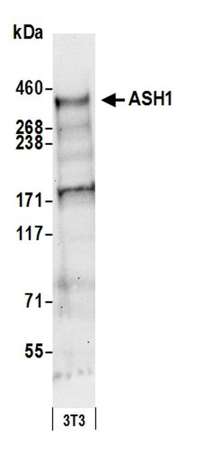 ASH1 Antibody in Western Blot (WB)