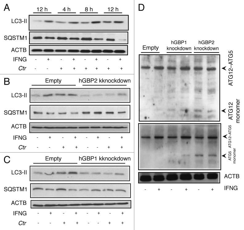 ATG12 Antibody