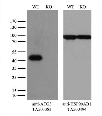 ATG3 Antibody in Knockout