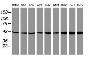 ATG3 Antibody in Western Blot (WB)