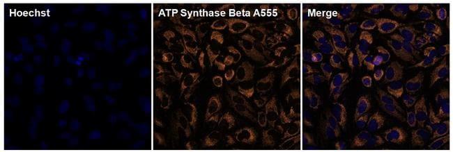 ATP Synthase beta Antibody in Immunofluorescence (IF)