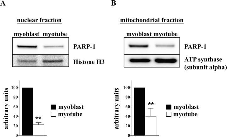 ATP5A1 Antibody