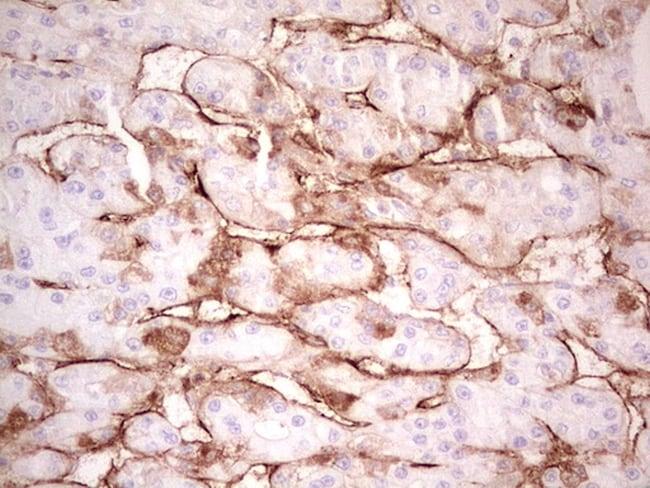 Adiponectin Antibody in Immunohistochemistry (Paraffin) (IHC (P))