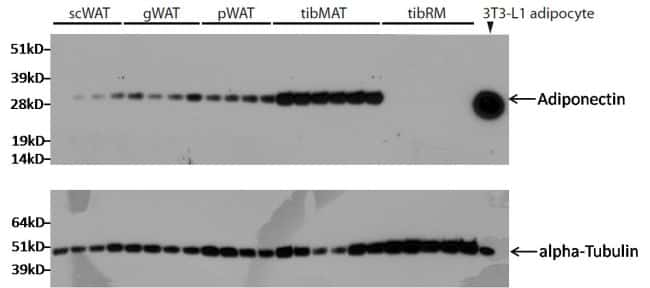 Adiponectin Antibody in Western Blot (WB)
