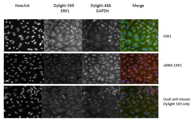 ERK1 Antibody in Immunofluorescence (IF)
