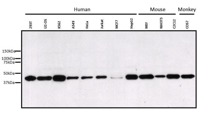 ERK1 Antibody in Western Blot (WB)