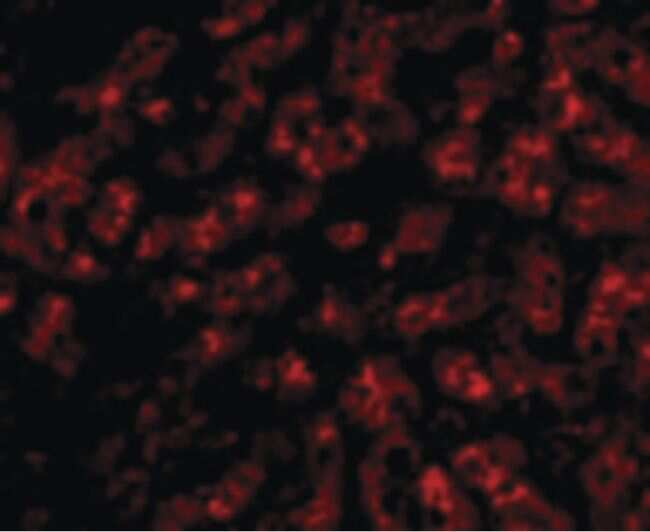 ApoA1 Antibody in Immunofluorescence (IF)