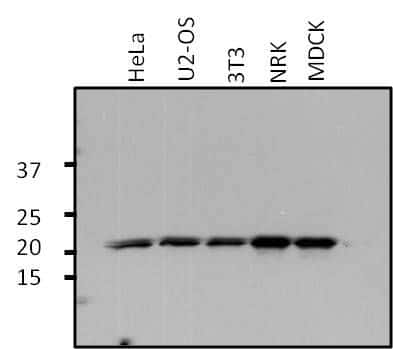 ARF1 Antibody in Western Blot (WB)