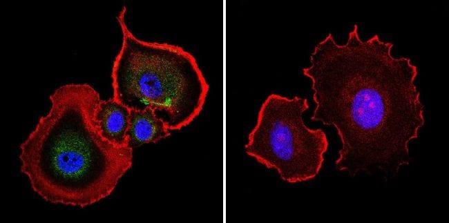 AHR Antibody in Immunofluorescence (IF)