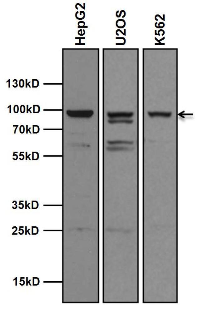 AHR Antibody in Western Blot (WB)