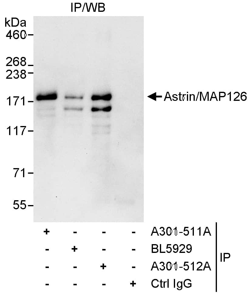 Astrin/MAP126 Antibody in Immunoprecipitation (IP)