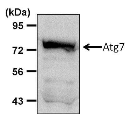 ATG7 Antibody in Western Blot (WB)