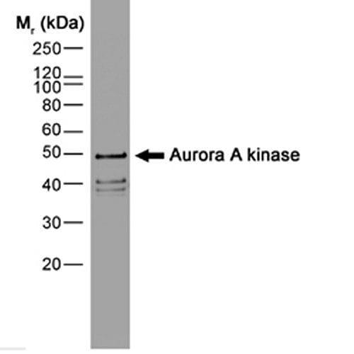 Aurora A Antibody in Western Blot (WB)