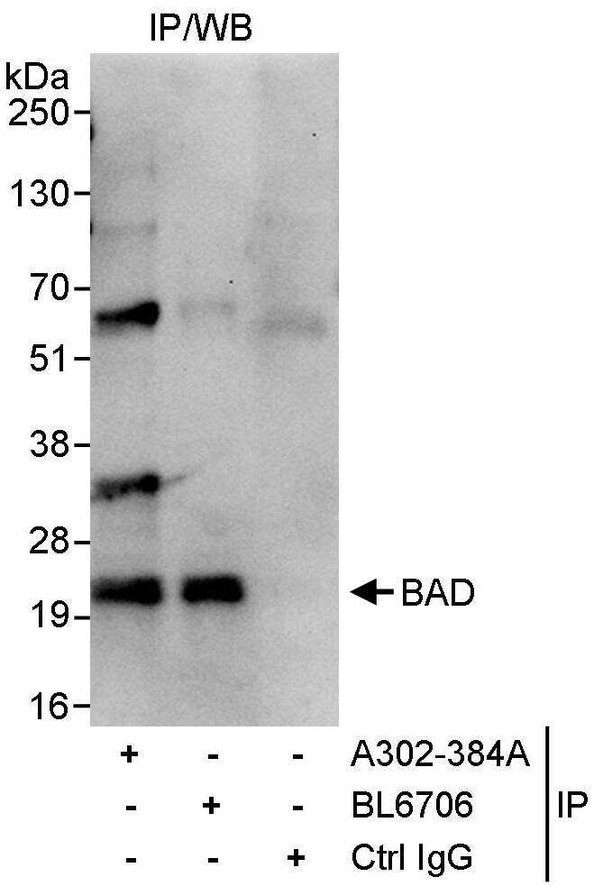 BAD Antibody in Immunoprecipitation (IP)