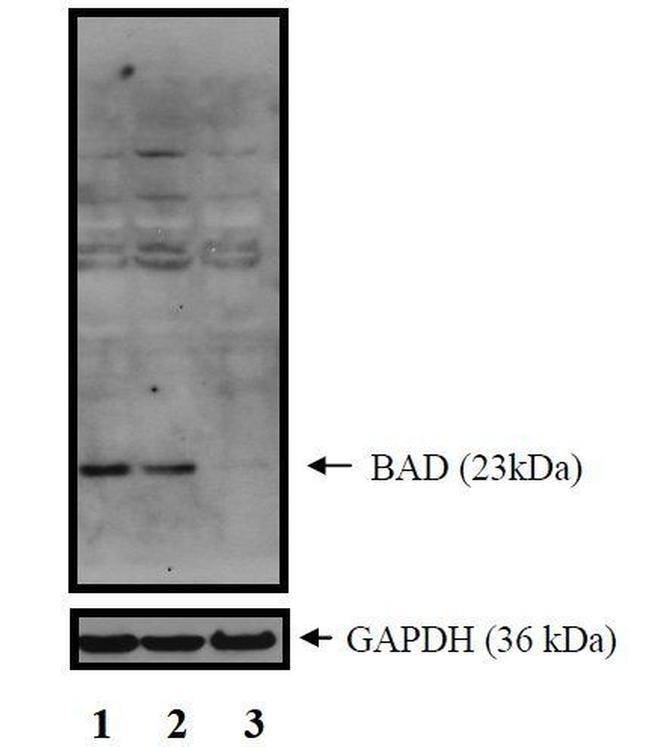 BAD Antibody in Western Blot (WB)