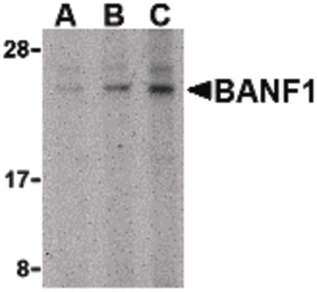 BANF1 Antibody in Western Blot (WB)