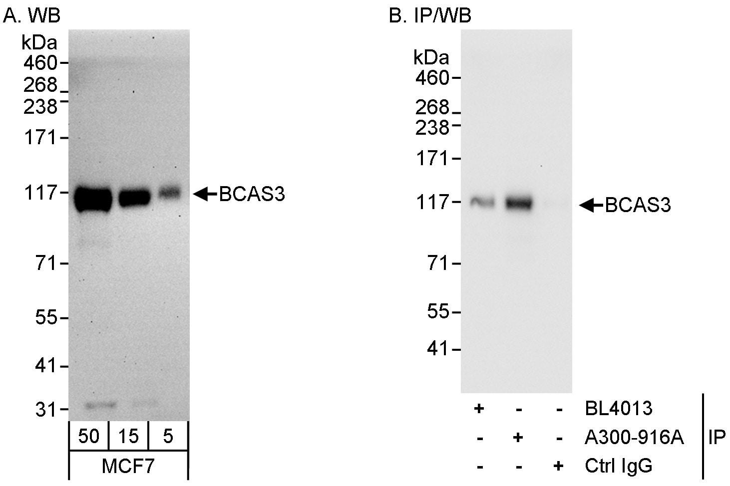 BCAS3 Antibody in Western Blot (WB)