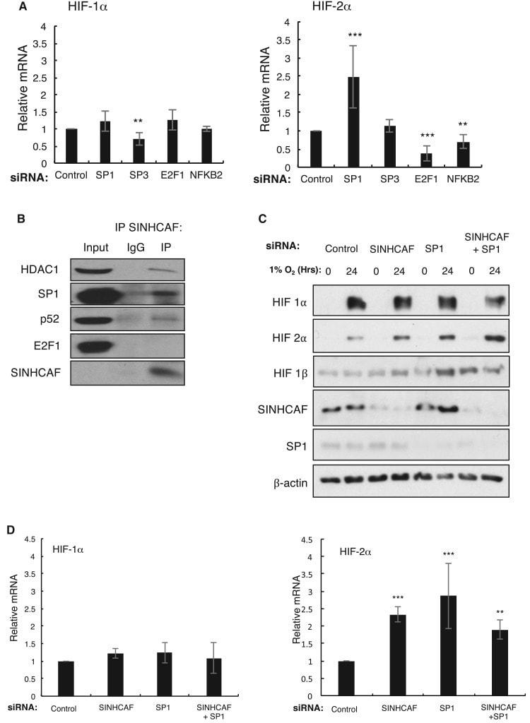 HIF-2 alpha Antibody