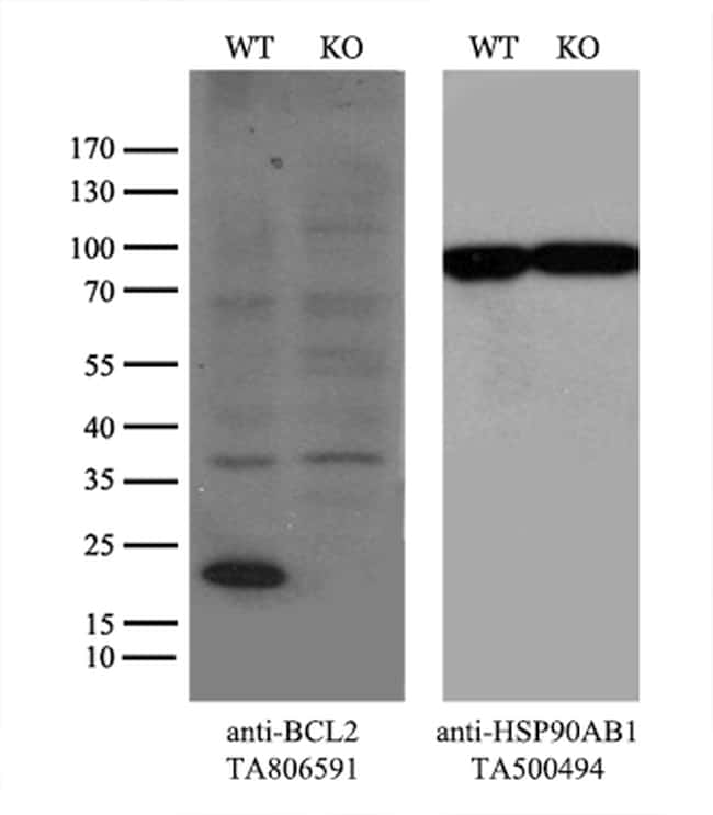 BCL2 Antibody in Knockout