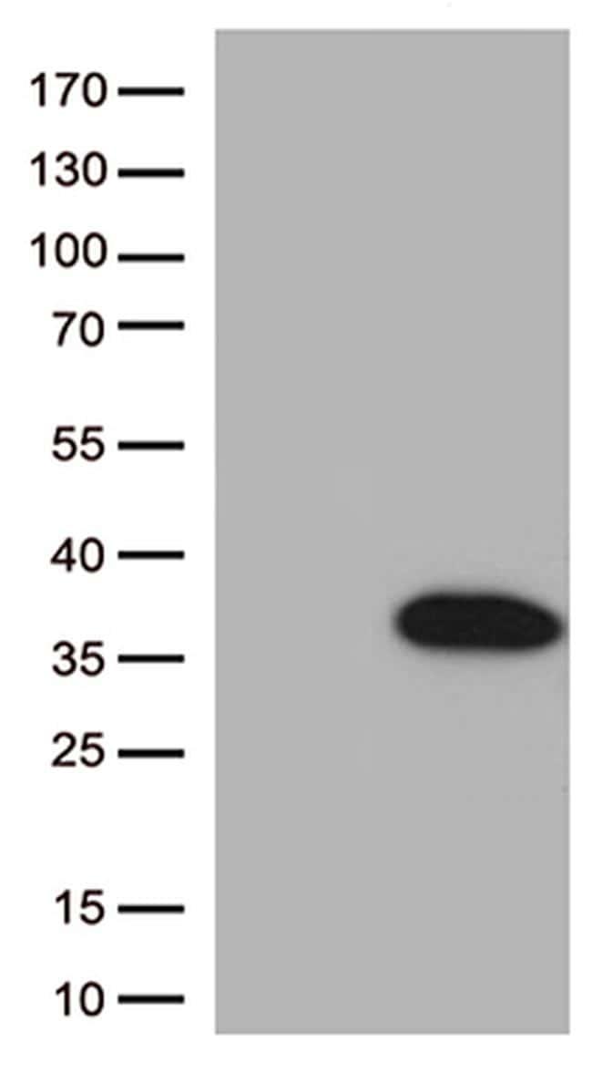 BCL2L1 Antibody in Western Blot (WB)