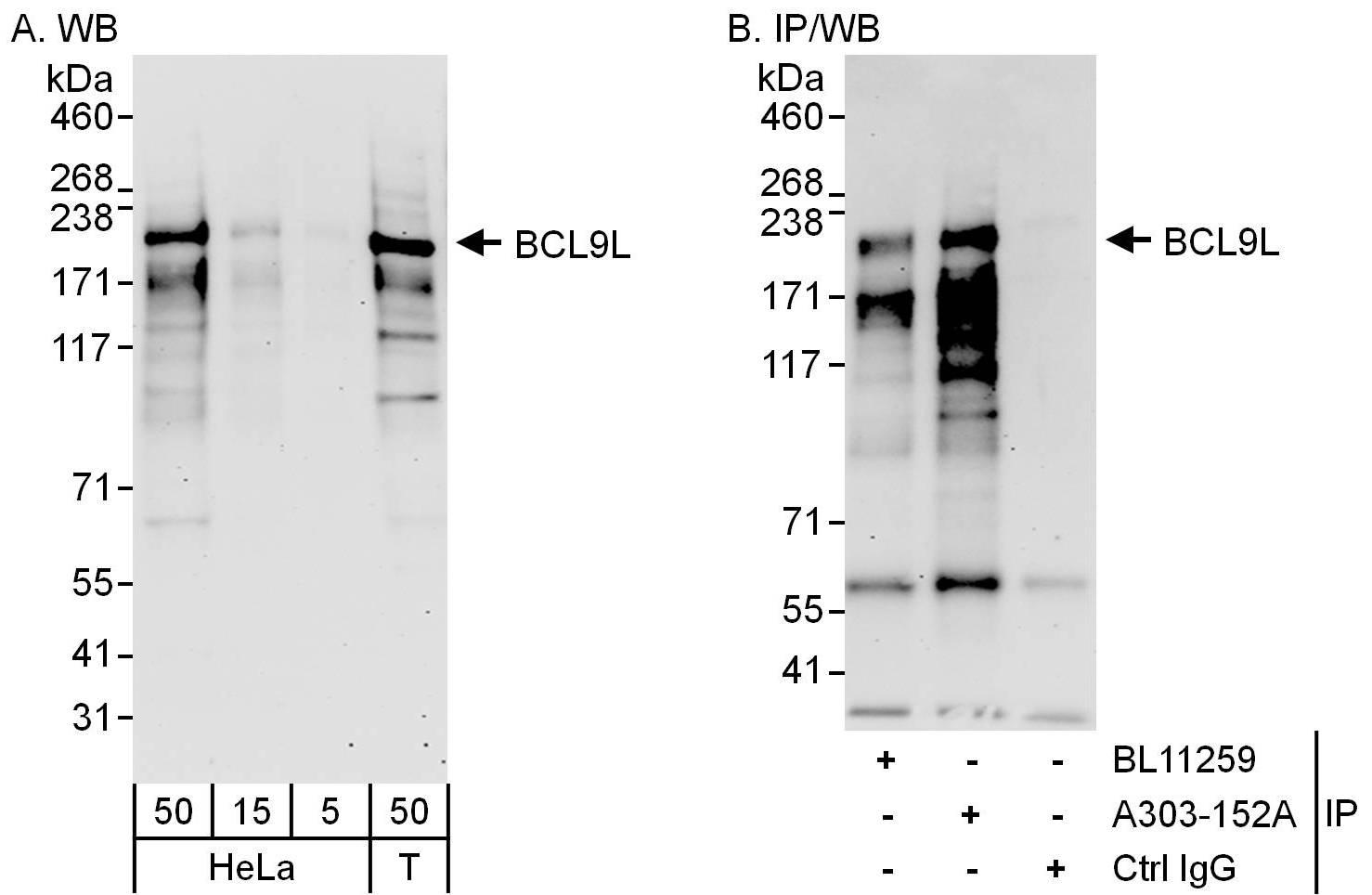 BCL9L Antibody in Western Blot (WB)