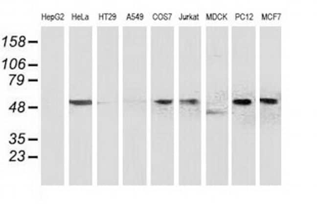BECN1 Antibody in Western Blot (WB)