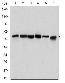Beclin 1 Antibody in Western Blot (WB)