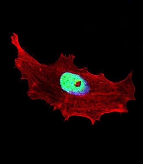BHLH3 Antibody in Immunofluorescence (IF)