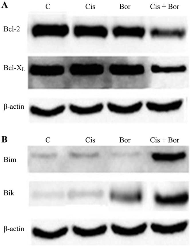 Bcl-2 Antibody
