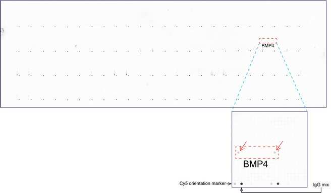 BMP4 Antibody in Peptide array (ARRAY)