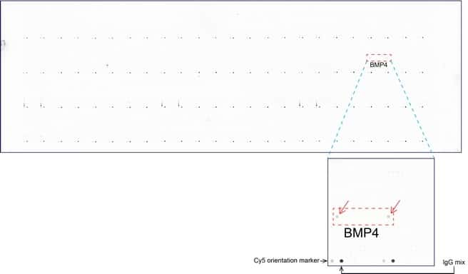 BMP4 Antibody in Peptide array (ARRAY)