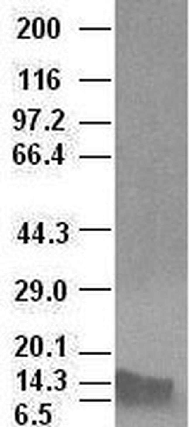 BMP4 Antibody in Western Blot (WB)