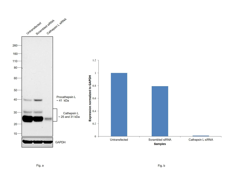 Cathepsin L Antibody in Western Blot (WB)