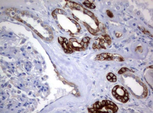 BNIP1 Antibody in Immunohistochemistry (Paraffin) (IHC (P))